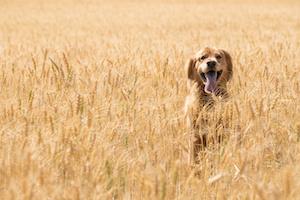 Friandises chiens sans céréales